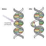 Ultraviolet effects on DNA